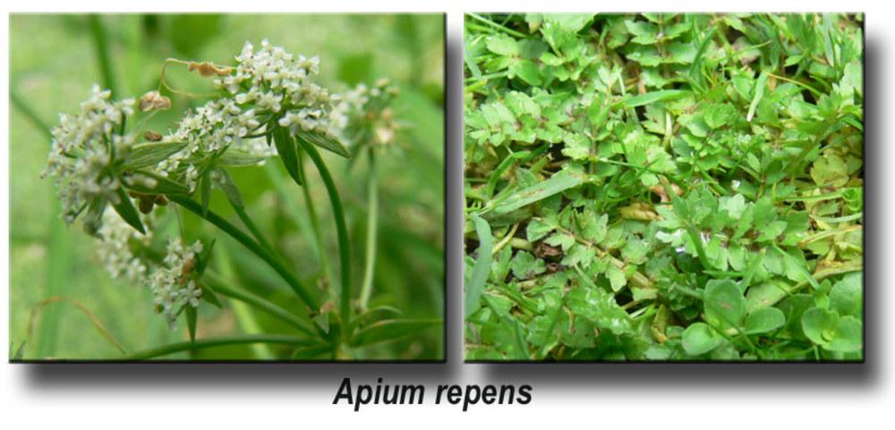 apium repens kriechender sellerie pflanzen in deutschland. Black Bedroom Furniture Sets. Home Design Ideas