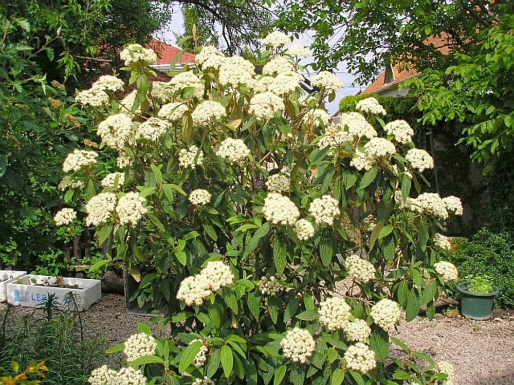 immergruener grossblatt schneeball viburnum rhytidophyllum