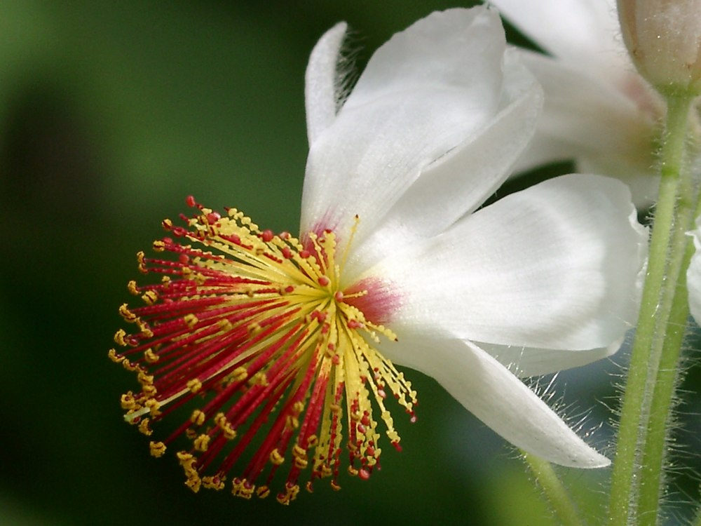 Zimmerlinde sparrmannia africana beschreibung steckbrief systematik - Zimmerlinde bilder ...