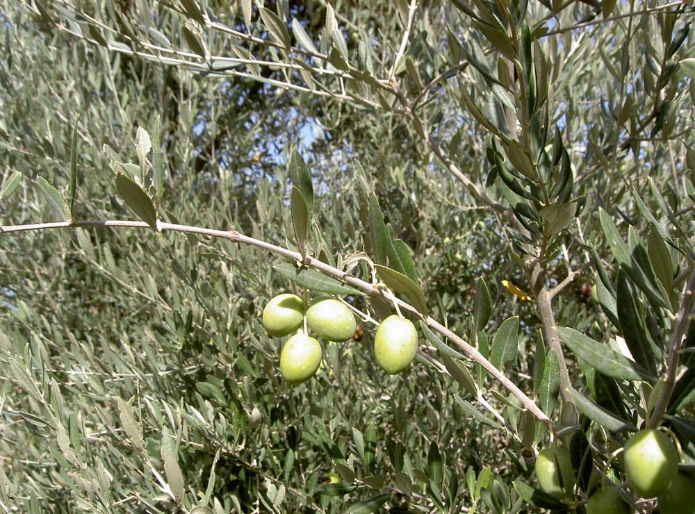 olea europaea olivenbaum pflanzen in deutschland. Black Bedroom Furniture Sets. Home Design Ideas