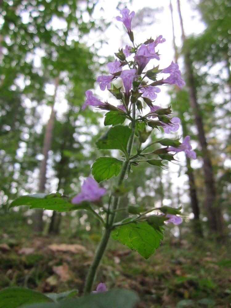 Pflanzenfamilie Lamiáceae - Lippenblütler Pflanzenfamilien Familie ...