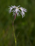 "Pracht-Nelke - Dianthus superbus; Bildquelle: <a href=""https://www.pflanzen-deutschland.de/quellen.php?bild_quelle=Wikipedia User File Upload Bot Magnus Manske"">Wikipedia User File Upload Bot Magnus Manske</a>; Bildlizenz: <a href=""https://creativecommons.org/licenses/by-sa/3.0/deed.de"" target=_blank title=""Namensnennung - Weitergabe unter gleichen Bedingungen 3.0 Unported (CC BY-SA 3.0)"">CC BY-SA 3.0</a>; <br>Wiki Commons Bildbeschreibung: <a href=""https://commons.wikimedia.org/wiki/File:Dianthus_superbus-01-Kaernten-2008-Thomas_Huntke.jpg"" target=_blank title=""https://commons.wikimedia.org/wiki/File:Dianthus_superbus-01-Kaernten-2008-Thomas_Huntke.jpg"">https://commons.wikimedia.org/wiki/File:Dianthus_superbus-01-Kaernten-2008-Thomas_Huntke.jpg</a>"