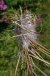 """Schmalblättriges Weidenröschen - Epilobium angustifolium; Bildquelle: <a href=""""https://www.pflanzen-deutschland.de/quellen.php?bild_quelle=Wikipedia User GeographBot"""">Wikipedia User GeographBot</a>; Bildlizenz: <a href=""""https://creativecommons.org/licenses/by-sa/2.0/deed.de"""" target=_blank title=""""Namensnennung - Weitergabe unter gleichen Bedingungen 2.0 Unported (CC BY-SA 2.0)"""">CC BY 2.0</a>; <br>Wiki Commons Bildbeschreibung: <a href=""""https://commons.wikimedia.org/wiki/File:Epilobium_angustifolium_-_geograph.org.uk_-_536353.jpg"""" target=_blank title=""""https://commons.wikimedia.org/wiki/File:Epilobium_angustifolium_-_geograph.org.uk_-_536353.jpg"""">https://commons.wikimedia.org/wiki/File:Epilobium_angustifolium_-_geograph.org.uk_-_536353.jpg</a>"""