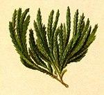 """Alpen-Flachbärlapp - Diphasiastrum alpinum; Bildquelle: <a href=""""https://www.pflanzen-deutschland.de/quellen.php?bild_quelle=Wikipedia User Aroche"""">Wikipedia User Aroche</a>; Bildlizenz: <a href=""""https://creativecommons.org/licenses/by-sa/3.0/deed.de"""" target=_blank title=""""Namensnennung - Weitergabe unter gleichen Bedingungen 3.0 Unported (CC BY-SA 3.0)"""">CC BY-SA 3.0</a>; <br>Wiki Commons Bildbeschreibung: <a href=""""https://commons.wikimedia.org/wiki/File:Lycopodium_alpinum_Atlas_Alpenflora.jpg"""" target=_blank title=""""https://commons.wikimedia.org/wiki/File:Lycopodium_alpinum_Atlas_Alpenflora.jpg"""">https://commons.wikimedia.org/wiki/File:Lycopodium_alpinum_Atlas_Alpenflora.jpg</a>"""