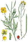"""Wilde Rauke - Diplotaxis tenuifolia; Bildquelle: <a href=""""https://www.pflanzen-deutschland.de/quellen.php?bild_quelle=Wikipedia User Finavon"""">Wikipedia User Finavon</a>; Bildlizenz: <a href=""""https://creativecommons.org/licenses/by-sa/3.0/deed.de"""" target=_blank title=""""Namensnennung - Weitergabe unter gleichen Bedingungen 3.0 Unported (CC BY-SA 3.0)"""">CC BY-SA 3.0</a>; <br>Wiki Commons Bildbeschreibung: <a href=""""https://commons.wikimedia.org/wiki/File:Diplotaxis_tenuifolia_Sturm32.jpg"""" target=_blank title=""""https://commons.wikimedia.org/wiki/File:Diplotaxis_tenuifolia_Sturm32.jpg"""">https://commons.wikimedia.org/wiki/File:Diplotaxis_tenuifolia_Sturm32.jpg</a>"""