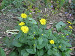 "Österreichische Gemswurz - Doronicum austriacum; Bildquelle: <a href=""https://www.pflanzen-deutschland.de/quellen.php?bild_quelle=Wikipedia User HTO"">Wikipedia User HTO</a>; Bildlizenz: <a href=""https://creativecommons.org/licenses/by-sa/3.0/deed.de"" target=_blank title=""Namensnennung - Weitergabe unter gleichen Bedingungen 3.0 Unported (CC BY-SA 3.0)"">CC BY-SA 3.0</a>; <br>Wiki Commons Bildbeschreibung: <a href=""https://commons.wikimedia.org/wiki/File:Doronicum_austriacum,_Brno_03.JPG"" target=_blank title=""https://commons.wikimedia.org/wiki/File:Doronicum_austriacum,_Brno_03.JPG"">https://commons.wikimedia.org/wiki/File:Doronicum_austriacum,_Brno_03.JPG</a>"