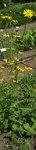 """Kriechende Gemswurz - Doronicum pardalianches; Bildquelle: <a href=""""https://www.pflanzen-deutschland.de/quellen.php?bild_quelle=Wikipedia User Rillke"""">Wikipedia User Rillke</a>; Bildlizenz: <a href=""""https://creativecommons.org/licenses/by-sa/3.0/deed.de"""" target=_blank title=""""Namensnennung - Weitergabe unter gleichen Bedingungen 3.0 Unported (CC BY-SA 3.0)"""">CC BY-SA 3.0</a>;"""