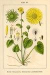"""Kriechende Gemswurz - Doronicum pardalianches; Bildquelle: <a href=""""https://www.pflanzen-deutschland.de/quellen.php?bild_quelle=Deutschlands Flora in Abbildungen, Johann Georg Sturm 1796"""">Deutschlands Flora in Abbildungen, Johann Georg Sturm 1796</a>; Bildlizenz: <a href=""""https://creativecommons.org/licenses/publicdomain/deed.de"""" target=_blank title=""""Public Domain"""">Public Domain</a>;"""