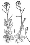 "Hain-Felsenblümchen - Draba nemorosa; Bildquelle: <a href=""https://www.pflanzen-deutschland.de/quellen.php?bild_quelle=USDA-NRCS PLANTS Database / Britton, N.L., and A. Brown. 1913"">USDA-NRCS PLANTS Database / Britton, N.L., and A. Brown. 1913</a>; Bildlizenz: <a href=""https://creativecommons.org/licenses/publicdomain/deed.de"" target=_blank title=""Public Domain"">Public Domain</a>;"