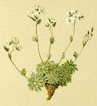 """Filziges Felsenblümchen - Draba tomentosa; Bildquelle: <a href=""""https://www.pflanzen-deutschland.de/quellen.php?bild_quelle=Anton Hartinger, Atlas der Alpenflora 1882"""">Anton Hartinger, Atlas der Alpenflora 1882</a>; Bildlizenz: <a href=""""https://creativecommons.org/licenses/by-sa/3.0/deed.de"""" target=_blank title=""""Namensnennung - Weitergabe unter gleichen Bedingungen 3.0 Unported (CC BY-SA 3.0)"""">CC BY-SA 3.0</a>;"""
