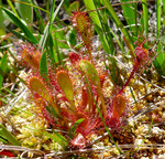 "Mittlerer Sonnentau - Drosera intermedia; Bildquelle: <a href=""https://www.pflanzen-deutschland.de/quellen.php?bild_quelle=Wikipedia User Josve05a"">Wikipedia User Josve05a</a>; Bildlizenz: <a href=""https://creativecommons.org/licenses/by-sa/2.0/deed.de"" target=_blank title=""Namensnennung - Weitergabe unter gleichen Bedingungen 2.0 Unported (CC BY-SA 2.0)"">CC BY 2.0</a>; <br>Wiki Commons Bildbeschreibung: <a href=""https://commons.wikimedia.org/wiki/File:Drosera_intermedia._Long_Leaved_Sundew_-_Flickr_-_gailhampshire.jpg"" target=_blank title=""https://commons.wikimedia.org/wiki/File:Drosera_intermedia._Long_Leaved_Sundew_-_Flickr_-_gailhampshire.jpg"">https://commons.wikimedia.org/wiki/File:Drosera_intermedia._Long_Leaved_Sundew_-_Flickr_-_gailhampshire.jpg</a>"