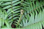 """Spreuschuppiger Wurmfarn - Dryopteris affinis; Bildquelle: <a href=""""https://www.pflanzen-deutschland.de/quellen.php?bild_quelle=Wikipedia User Christer T Johansson"""">Wikipedia User Christer T Johansson</a>; Bildlizenz: <a href=""""https://creativecommons.org/licenses/by-sa/3.0/deed.de"""" target=_blank title=""""Namensnennung - Weitergabe unter gleichen Bedingungen 3.0 Unported (CC BY-SA 3.0)"""">CC BY-SA 3.0</a>; <br>Wiki Commons Bildbeschreibung: <a href=""""https://commons.wikimedia.org/wiki/File:Dryopteris_affinis-IMG_9806.JPG"""" target=_blank title=""""https://commons.wikimedia.org/wiki/File:Dryopteris_affinis-IMG_9806.JPG"""">https://commons.wikimedia.org/wiki/File:Dryopteris_affinis-IMG_9806.JPG</a>"""