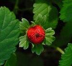 """Indische Scheinerdbeere - Fragaria indica; Bildquelle: <a href=""""https://www.pflanzen-deutschland.de/quellen.php?bild_quelle=Leo Michels, Untereisesheim"""">Leo Michels, Untereisesheim</a>; Bildlizenz: <a href=""""https://creativecommons.org/licenses/by-sa/3.0/deed.de"""" target=_blank title=""""Namensnennung - Weitergabe unter gleichen Bedingungen 3.0 Unported (CC BY-SA 3.0)"""">CC BY-SA 3.0</a>;"""