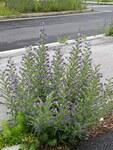 """Gewöhnlicher Natternkopf - Echium vulgare; Bildquelle: © <a href=""""https://www.pflanzen-deutschland.de/quellen.php?bild_quelle=Elfe, Vielen Dank"""">Elfe, Vielen Dank</a> - <b>All rights reserved</b>"""