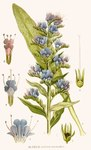 "Gewöhnlicher Natternkopf - Echium vulgare; Bildquelle: <a href=""https://www.pflanzen-deutschland.de/quellen.php?bild_quelle=Carl Axel Magnus Lindman Bilder ur Nordens Flora 1901-1905"">Carl Axel Magnus Lindman Bilder ur Nordens Flora 1901-1905</a>; Bildlizenz: <a href=""https://creativecommons.org/licenses/publicdomain/deed.de"" target=_blank title=""Public Domain"">Public Domain</a>;"