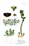 """Sechsmänniger Tännel - Elatine hexandra; Bildquelle: <a href=""""https://www.pflanzen-deutschland.de/quellen.php?bild_quelle=Otto Wilhelm Thome Flora von Deutschland, Österreich und der Schweiz 1905, Gera, Germany"""">Otto Wilhelm Thome Flora von Deutschland, Österreich und der Schweiz 1905, Gera, Germany</a>; Bildlizenz: <a href=""""https://creativecommons.org/licenses/by-sa/3.0/deed.de"""" target=_blank title=""""Namensnennung - Weitergabe unter gleichen Bedingungen 3.0 Unported (CC BY-SA 3.0)"""">CC BY-SA 3.0</a>;"""