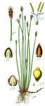 """Einspelzige Sumpfbinse - Eleocharis uniglumis; Bildquelle: <a href=""""https://www.pflanzen-deutschland.de/quellen.php?bild_quelle=Deutschlands Flora in Abbildungen, Johann Georg Sturm 1796"""">Deutschlands Flora in Abbildungen, Johann Georg Sturm 1796</a>; Bildlizenz: <a href=""""https://creativecommons.org/licenses/publicdomain/deed.de"""" target=_blank title=""""Public Domain"""">Public Domain</a>;"""