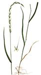 """Hunds-Quecke - Elymus caninus; Bildquelle: <a href=""""https://www.pflanzen-deutschland.de/quellen.php?bild_quelle=Flora Danica G.C. Oeder et al, fascicle 25, t. 1447 1761-1883"""">Flora Danica G.C. Oeder et al, fascicle 25, t. 1447 1761-1883</a>; Bildlizenz: <a href=""""https://creativecommons.org/licenses/by-sa/3.0/deed.de"""" target=_blank title=""""Namensnennung - Weitergabe unter gleichen Bedingungen 3.0 Unported (CC BY-SA 3.0)"""">CC BY-SA 3.0</a>; <br>Wiki Commons Bildbeschreibung: <a href=""""https://commons.wikimedia.org/wiki/File:Elymus_caninus,_Flora_Danica_1447.png"""" target=_blank title=""""https://commons.wikimedia.org/wiki/File:Elymus_caninus,_Flora_Danica_1447.png"""">https://commons.wikimedia.org/wiki/File:Elymus_caninus,_Flora_Danica_1447.png</a>"""