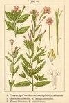 """Mierenblättriges Weidenröschen - Epilobium alsinifolium; Bildquelle: <a href=""""https://www.pflanzen-deutschland.de/quellen.php?bild_quelle=Deutschlands Flora in Abbildungen 1796"""">Deutschlands Flora in Abbildungen 1796</a>; Bildlizenz: <a href=""""https://creativecommons.org/licenses/publicdomain/deed.de"""" target=_blank title=""""Public Domain"""">Public Domain</a>;"""