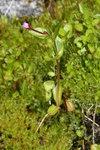 """Gauchheilblättriges Weidenröschen - Epilobium anagallidifolium; Bildquelle: <a href=""""https://www.pflanzen-deutschland.de/quellen.php?bild_quelle=Wikipedia User Wsiegmund"""">Wikipedia User Wsiegmund</a>; Bildlizenz: <a href=""""https://creativecommons.org/licenses/by-sa/3.0/deed.de"""" target=_blank title=""""Namensnennung - Weitergabe unter gleichen Bedingungen 3.0 Unported (CC BY-SA 3.0)"""">CC BY-SA 3.0</a>;"""
