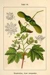 """Feld-Ahorn - Acer campestre; Bildquelle: <a href=""""https://www.pflanzen-deutschland.de/quellen.php?bild_quelle=Deutschlands Flora in Abbildungen, Johann Georg Sturm 1796"""">Deutschlands Flora in Abbildungen, Johann Georg Sturm 1796</a>; Bildlizenz: <a href=""""https://creativecommons.org/licenses/publicdomain/deed.de"""" target=_blank title=""""Public Domain"""">Public Domain</a>;"""