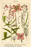 """Rosmarin-Weidenröschen - Epilobium dodonaei; Bildquelle: <a href=""""https://www.pflanzen-deutschland.de/quellen.php?bild_quelle=Deutschlands Flora in Abbildungen 1796"""">Deutschlands Flora in Abbildungen 1796</a>; Bildlizenz: <a href=""""https://creativecommons.org/licenses/publicdomain/deed.de"""" target=_blank title=""""Public Domain"""">Public Domain</a>;"""
