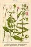 """Dunkelgrünes Weidenröschen - Epilobium obscurum; Bildquelle: <a href=""""https://www.pflanzen-deutschland.de/quellen.php?bild_quelle=Deutschlands Flora in Abbildungen 1796"""">Deutschlands Flora in Abbildungen 1796</a>; Bildlizenz: <a href=""""https://creativecommons.org/licenses/publicdomain/deed.de"""" target=_blank title=""""Public Domain"""">Public Domain</a>;"""