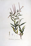 "Sumpf-Weidenröschen - Epilobium palustre; Bildquelle: <a href=""https://www.pflanzen-deutschland.de/quellen.php?bild_quelle=Wikipedia User FloraUploadR"">Wikipedia User FloraUploadR</a>; Bildlizenz: <a href=""https://creativecommons.org/licenses/by-sa/3.0/deed.de"" target=_blank title=""Namensnennung - Weitergabe unter gleichen Bedingungen 3.0 Unported (CC BY-SA 3.0)"">CC BY-SA 3.0</a>; <br>Wiki Commons Bildbeschreibung: <a href=""https://commons.wikimedia.org/wiki/File:Epilobium_palustre_%E2%80%94_Flora_Batava_%E2%80%94_Volume_v5.jpg"" target=_blank title=""https://commons.wikimedia.org/wiki/File:Epilobium_palustre_%E2%80%94_Flora_Batava_%E2%80%94_Volume_v5.jpg"">https://commons.wikimedia.org/wiki/File:Epilobium_palustre_%E2%80%94_Flora_Batava_%E2%80%94_Volume_v5.jpg</a>"