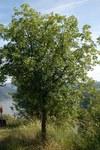 """Französischer Ahorn - Acer monspessulanum; Bildquelle: <a href=""""https://www.pflanzen-deutschland.de/quellen.php?bild_quelle=Wikipedia User Dysmachus"""">Wikipedia User Dysmachus</a>; Bildlizenz: <a href=""""https://creativecommons.org/licenses/by-sa/2.5/deed.de"""" target=_blank title=""""Namensnennung - Weitergabe unter gleichen Bedingungen 2.5 Unported (CC BY-SA 2.5)"""">CC BY 2.5</a>; <br>Wiki Commons Bildbeschreibung: <a href=""""https://commons.wikimedia.org/wiki/File:Acer_monspessulanum_fg01.jpg"""" target=_blank title=""""https://commons.wikimedia.org/wiki/File:Acer_monspessulanum_fg01.jpg"""">https://commons.wikimedia.org/wiki/File:Acer_monspessulanum_fg01.jpg</a>"""