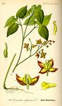 """Alpen-Sockenblume - Epimedium alpinum; Bildquelle: <a href=""""https://www.pflanzen-deutschland.de/quellen.php?bild_quelle=Prof. Dr. Otto Wilhelm Thome Flora von Deutschland, Österreich und der Schweiz 1885, Gera, Germany"""">Prof. Dr. Otto Wilhelm Thome Flora von Deutschland, Österreich und der Schweiz 1885, Gera, Germany</a>; Bildlizenz: <a href=""""https://creativecommons.org/licenses/publicdomain/deed.de"""" target=_blank title=""""Public Domain"""">Public Domain</a>;"""