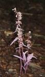 """Violette Stendelwurz - Epipactis purpurata; Bildquelle: <a href=""""https://www.pflanzen-deutschland.de/quellen.php?bild_quelle=Wikipedia User BerndH"""">Wikipedia User BerndH</a>; Bildlizenz: <a href=""""https://creativecommons.org/licenses/by-sa/3.0/deed.de"""" target=_blank title=""""Namensnennung - Weitergabe unter gleichen Bedingungen 3.0 Unported (CC BY-SA 3.0)"""">CC BY-SA 3.0</a>; <br>Wiki Commons Bildbeschreibung: <a href=""""https://commons.wikimedia.org/wiki/File:Epipactis_purpurata_rosea_130805a.jpg"""" target=_blank title=""""https://commons.wikimedia.org/wiki/File:Epipactis_purpurata_rosea_130805a.jpg"""">https://commons.wikimedia.org/wiki/File:Epipactis_purpurata_rosea_130805a.jpg</a>"""