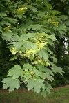 """Spitz-Ahorn - Acer platanoides; Bildquelle: <a href=""""https://www.pflanzen-deutschland.de/quellen.php?bild_quelle=Wikipedia User Jean-Pol GRANDMONT"""">Wikipedia User Jean-Pol GRANDMONT</a>; Bildlizenz: <a href=""""https://creativecommons.org/licenses/by-sa/3.0/deed.de"""" target=_blank title=""""Namensnennung - Weitergabe unter gleichen Bedingungen 3.0 Unported (CC BY-SA 3.0)"""">CC BY-SA 3.0</a>;"""