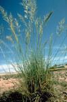 """Schwachgekrümmtes Liebesgras - Eragrostis curvula; Bildquelle: <a href=""""https://www.pflanzen-deutschland.de/quellen.php?bild_quelle=Wikipedia User Nonenmac"""">Wikipedia User Nonenmac</a>; Bildlizenz: <a href=""""https://creativecommons.org/publicdomain/zero/1.0/deed.de"""" target=_blank title=""""CC0 1.0 Universell (CC0 1.0)"""">CC0 1.0</a>; <br>Wiki Commons Bildbeschreibung: <a href=""""https://commons.wikimedia.org/wiki/File:Eragrostis_curvula_NRCS-1.jpg"""" target=_blank title=""""https://commons.wikimedia.org/wiki/File:Eragrostis_curvula_NRCS-1.jpg"""">https://commons.wikimedia.org/wiki/File:Eragrostis_curvula_NRCS-1.jpg</a>"""