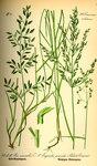 """Kleines Liebesgras - Eragrostis minor; Bildquelle: <a href=""""https://www.pflanzen-deutschland.de/quellen.php?bild_quelle=Prof. Dr. Otto Wilhelm Thome Flora von Deutschland, Österreich und der Schweiz 1885, Gera, Germany"""">Prof. Dr. Otto Wilhelm Thome Flora von Deutschland, Österreich und der Schweiz 1885, Gera, Germany</a>; Bildlizenz: <a href=""""https://creativecommons.org/licenses/publicdomain/deed.de"""" target=_blank title=""""Public Domain"""">Public Domain</a>;"""