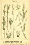 "Behaartes Liebesgras - Eragrostis pilosa; Bildquelle: <a href=""https://www.pflanzen-deutschland.de/quellen.php?bild_quelle=Deutschlands Flora in Abbildungen 1796"">Deutschlands Flora in Abbildungen 1796</a>; Bildlizenz: <a href=""https://creativecommons.org/licenses/publicdomain/deed.de"" target=_blank title=""Public Domain"">Public Domain</a>;"
