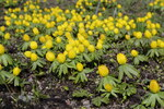 "Winterling - Eranthis hyemalis; Bildquelle: <a href=""https://www.pflanzen-deutschland.de/quellen.php?bild_quelle=Wikipedia User Christer T Johansson"">Wikipedia User Christer T Johansson</a>; Bildlizenz: <a href=""https://creativecommons.org/licenses/by-sa/3.0/deed.de"" target=_blank title=""Namensnennung - Weitergabe unter gleichen Bedingungen 3.0 Unported (CC BY-SA 3.0)"">CC BY-SA 3.0</a>; <br>Wiki Commons Bildbeschreibung: <a href=""https://commons.wikimedia.org/wiki/File:Eranthis_hyemalis-IMG_0544.JPG"" target=_blank title=""https://commons.wikimedia.org/wiki/File:Eranthis_hyemalis-IMG_0544.JPG"">https://commons.wikimedia.org/wiki/File:Eranthis_hyemalis-IMG_0544.JPG</a>"