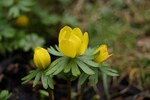 "Winterling - Eranthis hyemalis; Bildquelle: <a href=""https://www.pflanzen-deutschland.de/quellen.php?bild_quelle=Wikipedia User Bartiebert"">Wikipedia User Bartiebert</a>; Bildlizenz: <a href=""https://creativecommons.org/licenses/by-sa/3.0/deed.de"" target=_blank title=""Namensnennung - Weitergabe unter gleichen Bedingungen 3.0 Unported (CC BY-SA 3.0)"">CC BY-SA 3.0</a>; <br>Wiki Commons Bildbeschreibung: <a href=""https://commons.wikimedia.org/wiki/File:Eranthis_hyemalis-584.JPG"" target=_blank title=""https://commons.wikimedia.org/wiki/File:Eranthis_hyemalis-584.JPG"">https://commons.wikimedia.org/wiki/File:Eranthis_hyemalis-584.JPG</a>"