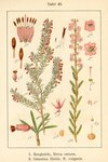 "Schnee-Heide - Erica herbacaea; Bildquelle: <a href=""https://www.pflanzen-deutschland.de/quellen.php?bild_quelle=Deutschlands Flora in Abbildungen 1796"">Deutschlands Flora in Abbildungen 1796</a>; Bildlizenz: <a href=""https://creativecommons.org/licenses/publicdomain/deed.de"" target=_blank title=""Public Domain"">Public Domain</a>;"