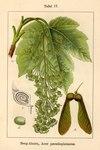 "Berg-Ahorn - Acer pseudoplatanus; Bildquelle: <a href=""https://www.pflanzen-deutschland.de/quellen.php?bild_quelle=Deutschlands Flora in Abbildungen 1796"">Deutschlands Flora in Abbildungen 1796</a>; Bildlizenz: <a href=""https://creativecommons.org/licenses/publicdomain/deed.de"" target=_blank title=""Public Domain"">Public Domain</a>;"