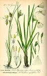 """Schmalblättriges Wollgras - Eriophorum angustifolium; Bildquelle: <a href=""""https://www.pflanzen-deutschland.de/quellen.php?bild_quelle=Prof. Dr. Otto Wilhelm Thome Flora von Deutschland, Österreich und der Schweiz 1885, Gera, Germany"""">Prof. Dr. Otto Wilhelm Thome Flora von Deutschland, Österreich und der Schweiz 1885, Gera, Germany</a>; Bildlizenz: <a href=""""https://creativecommons.org/licenses/publicdomain/deed.de"""" target=_blank title=""""Public Domain"""">Public Domain</a>;"""