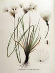 """Breitblättriges Wollgras - Eriophorum latifolium; Bildquelle: <a href=""""https://www.pflanzen-deutschland.de/quellen.php?bild_quelle=Flora Batava of Afbeelding en Beschrijving van Nederlandsche Gevassen, XVI. Deel. 1881"""">Flora Batava of Afbeelding en Beschrijving van Nederlandsche Gevassen, XVI. Deel. 1881</a>; Bildlizenz: <a href=""""https://creativecommons.org/licenses/publicdomain/deed.de"""" target=_blank title=""""Public Domain"""">Public Domain</a>;"""