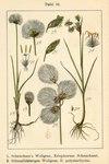 """Scheuchzers Wollgras - Eriophorum scheuchzeri; Bildquelle: <a href=""""https://www.pflanzen-deutschland.de/quellen.php?bild_quelle=Deutschlands Flora in Abbildungen 1796"""">Deutschlands Flora in Abbildungen 1796</a>; Bildlizenz: <a href=""""https://creativecommons.org/licenses/publicdomain/deed.de"""" target=_blank title=""""Public Domain"""">Public Domain</a>;"""