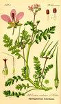 """Gewöhnlicher Reiherschnabel - Erodium cicutarium; Bildquelle: <a href=""""https://www.pflanzen-deutschland.de/quellen.php?bild_quelle=Prof. Dr. Otto Wilhelm Thome Flora von Deutschland, Österreich und der Schweiz 1885, Gera, Germany"""">Prof. Dr. Otto Wilhelm Thome Flora von Deutschland, Österreich und der Schweiz 1885, Gera, Germany</a>; Bildlizenz: <a href=""""https://creativecommons.org/licenses/publicdomain/deed.de"""" target=_blank title=""""Public Domain"""">Public Domain</a>;"""