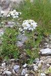 """Schwarzrandige Schafgarbe - Achillea atrata; Bildquelle: &copy; <a href=""""https://www.pflanzen-deutschland.de/quellen.php?bild_quelle=Dr. med. Frank Meyer, Nürnberg, <a target=_blank href=http://www.fb.com/magischen11>www.fb.com/magischen11</a>"""">Dr. med. Frank Meyer, Nürnberg, <a target=_blank href=http://www.fb.com/magischen11>www.fb.com/magischen11</a></a> - <b>All rights reserved</b>"""