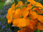 "Goldlack - Erysimum cheiri; Bildquelle: <a href=""https://www.pflanzen-deutschland.de/quellen.php?bild_quelle=Wikipedia User Ram-Man"">Wikipedia User Ram-Man</a>; Bildlizenz: <a href=""https://creativecommons.org/licenses/by-sa/3.0/deed.de"" target=_blank title=""Namensnennung - Weitergabe unter gleichen Bedingungen 3.0 Unported (CC BY-SA 3.0)"">CC BY-SA 3.0</a>; <br>Wiki Commons Bildbeschreibung: <a href=""https://commons.wikimedia.org/wiki/File:Erysimum_cheiri_gold_garden_flowers.jpg"" target=_blank title=""https://commons.wikimedia.org/wiki/File:Erysimum_cheiri_gold_garden_flowers.jpg"">https://commons.wikimedia.org/wiki/File:Erysimum_cheiri_gold_garden_flowers.jpg</a>"