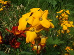 "Goldlack - Erysimum cheiri; Bildquelle: <a href=""https://www.pflanzen-deutschland.de/quellen.php?bild_quelle=Wikipedia User Hans B.commonswiki"">Wikipedia User Hans B.commonswiki</a>; Bildlizenz: <a href=""https://creativecommons.org/publicdomain/zero/1.0/deed.de"" target=_blank title=""CC0 1.0 Universell (CC0 1.0)"">CC0 1.0</a>; <br>Wiki Commons Bildbeschreibung: <a href=""https://commons.wikimedia.org/wiki/File:Erysimum_cheiri3.jpg"" target=_blank title=""https://commons.wikimedia.org/wiki/File:Erysimum_cheiri3.jpg"">https://commons.wikimedia.org/wiki/File:Erysimum_cheiri3.jpg</a>"