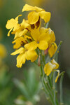 "Goldlack - Erysimum cheiri; Bildquelle: <a href=""https://www.pflanzen-deutschland.de/quellen.php?bild_quelle=Wikipedia User Jastrow"">Wikipedia User Jastrow</a>; Bildlizenz: <a href=""https://creativecommons.org/licenses/by-sa/2.5/deed.de"" target=_blank title=""Namensnennung - Weitergabe unter gleichen Bedingungen 2.5 Unported (CC BY-SA 2.5)"">CC BY 2.5</a>; <br>Wiki Commons Bildbeschreibung: <a href=""https://commons.wikimedia.org/wiki/File:Erysimum_cheiri_JdP_2013-05-02.jpg"" target=_blank title=""https://commons.wikimedia.org/wiki/File:Erysimum_cheiri_JdP_2013-05-02.jpg"">https://commons.wikimedia.org/wiki/File:Erysimum_cheiri_JdP_2013-05-02.jpg</a>"