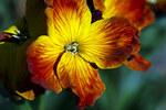 """Goldlack - Erysimum cheiri; Bildquelle: <a href=""""https://www.pflanzen-deutschland.de/quellen.php?bild_quelle=Wikipedia User EOSfoto"""">Wikipedia User EOSfoto</a>; Bildlizenz: <a href=""""https://creativecommons.org/licenses/by/4.0/deed.de"""" target=_blank title=""""Namensnennung 4.0 International (CC BY 4.0)"""">CC BY 4.0</a>; <br>Wiki Commons Bildbeschreibung: <a href=""""https://commons.wikimedia.org/wiki/File:Erysimum_cheiri_(muurbloem).jpg"""" target=_blank title=""""https://commons.wikimedia.org/wiki/File:Erysimum_cheiri_(muurbloem).jpg"""">https://commons.wikimedia.org/wiki/File:Erysimum_cheiri_(muurbloem).jpg</a>"""