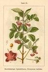 """Breitblättriges Pfaffenhütchen - Euonymus latifolia; Bildquelle: <a href=""""https://www.pflanzen-deutschland.de/quellen.php?bild_quelle=Deutschlands Flora in Abbildungen 1796"""">Deutschlands Flora in Abbildungen 1796</a>; Bildlizenz: <a href=""""https://creativecommons.org/licenses/publicdomain/deed.de"""" target=_blank title=""""Public Domain"""">Public Domain</a>;"""