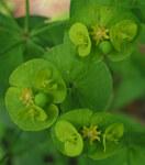"Mandel-Wolfsmilch - Euphorbia amygdaloides; Bildquelle: <a href=""https://www.pflanzen-deutschland.de/quellen.php?bild_quelle=Wikipedia User Robert Flogaus-Faust"">Wikipedia User Robert Flogaus-Faust</a>; Bildlizenz: <a href=""https://creativecommons.org/licenses/by/4.0/deed.de"" target=_blank title=""Namensnennung 4.0 International (CC BY 4.0)"">CC BY 4.0</a>; <br>Wiki Commons Bildbeschreibung: <a href=""https://commons.wikimedia.org/wiki/File:Euphorbia_amygdaloides_2_RF.jpg"" target=_blank title=""https://commons.wikimedia.org/wiki/File:Euphorbia_amygdaloides_2_RF.jpg"">https://commons.wikimedia.org/wiki/File:Euphorbia_amygdaloides_2_RF.jpg</a>"